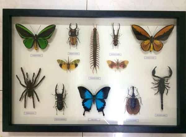jenis serangga bersolidaritas tinggi img