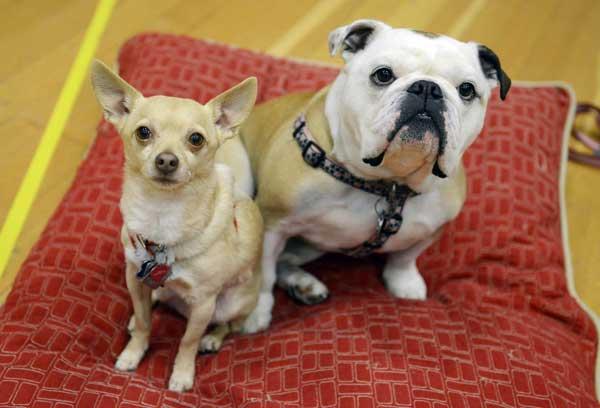 bulldog chihuahua anjing kesukaan song jihyo running man img