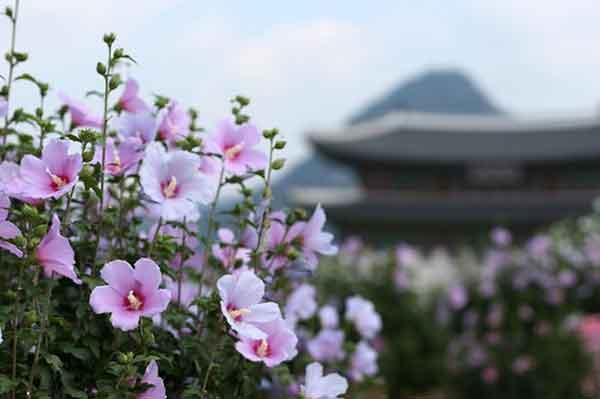 mugunghwa nama bunga nasional khas korea jpg