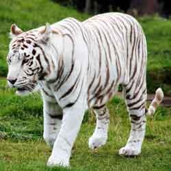 karakter kepribadian harimau putih jpg