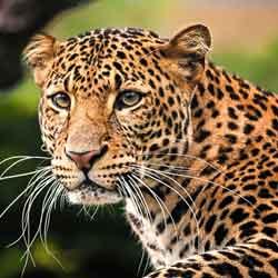 karakter sifat leopard macan tutul jpg