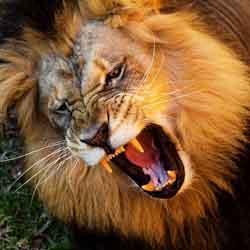 kepribadian singa jpg